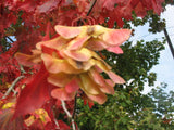 Acer Rubrum -  Red Maple    10 seeds
