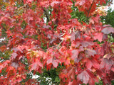 Acer Rubrum -  Red Maple    10 seeds - Aquarium and Pond Plants