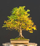 Aesculus hippocastanum - Horse chestnut - Kit - 3  pre bonsai trees - Aquarium and Pond Plants