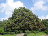 Aesculus hippocastanum Horse chestnut  bonsai tree seeds - 3 conkers - Aquarium and Pond Plants - 7