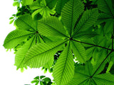 Aesculus hippocastanum - Horse chestnut - Aquarium and Pond Plants