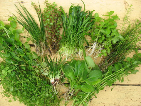 Live Aquarium Plants starter 120 stems (10 species, loose or in clumps) - Aquarium and Pond Plants