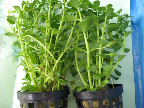 Bacopa monnieri  potted -  live aquarium  plants -  1 pot - Aquarium and Pond Plants