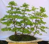 Carpinus betulus  - European Hornbeam - Kit  - 5 pre bonsai trees - Aquarium and Pond Plants