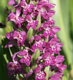 Dactylorhiza majalis   1 Tuber - Aquarium and Pond Plants - 5