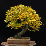 Fagus sylvatica - European Beech - Kit  - 5 pre bonsai trees - Aquarium and Pond Plants - 8
