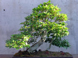 Fagus sylvatica - European Beech - Kit  - 5 pre bonsai trees - Aquarium and Pond Plants