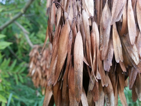 Fraxinus Excelsior - The Ash  10 seeds - Aquarium and Pond Plants
