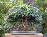 "Hedera helix ""variegata"" - English Ivy ""Variegata"" - Kit  -  9 cuttings - Aquarium and Pond Plants - 6"