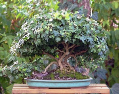 Bonsai Trees Guide