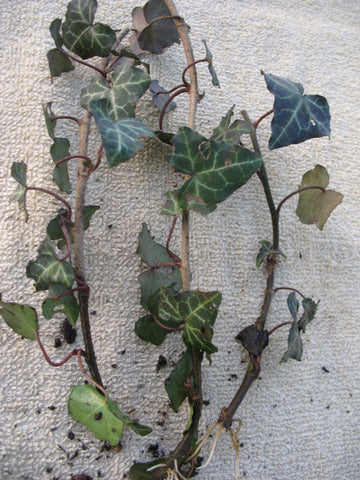 Hedera helix - English Ivy - Kit  - 5 pre bonsai trees - Aquarium and Pond Plants