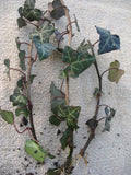 Hedera helix - English Ivy - Aquarium and Pond Plants - 2