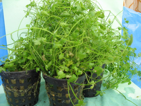 Potted  carpet aquarium plants - 5 pots - Aquarium and Pond Plants