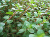 Rotala rotundifolia   Dwarf rotala  potted live aquarium carpet  plant   1 pot - Aquarium and Pond Plants