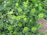 Sedum spurium - Caucasian stonecrop -  3 clumps - Aquarium and Pond Plants - 11