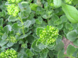 Sedum spurium - Caucasian stonecrop -  3 clumps - Aquarium and Pond Plants