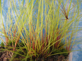 Eleocharis  vivipara  Hairgrass  1 bunch - Aquarium and Pond Plants