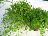 Glossostigma elatinoides potted  foreground  aquarium plant   1 pot - Aquarium and Pond Plants
