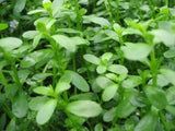 Bacopa monnieri - Water Hyssop - live aquarium plant   -15 stems - Aquarium and Pond Plants