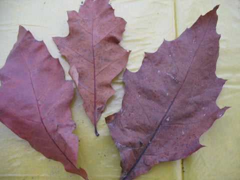Quercus rubra - Northern Red Oak - Kit  - 5 pre bonsai trees - Aquarium and Pond Plants