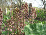 Petasites hybridus Butterbur  - 1 rhizome - Aquarium and Pond Plants