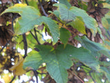 Acer pseudoplatanus - False plane tree - Aquarium and Pond Plants - 2