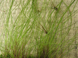 Eleocharis vivipara - Hairgrass   potted aquarium plant - Aquarium and Pond Plants