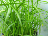 Lilaeopsis Brasiliensis  Micro Sword - 50 stems - Aquarium and Pond Plants - 6