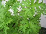 Citrosa geranium   3 cuttings - Aquarium and Pond Plants