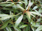 Alternanthera  reineckii lilacina - 10 plants - Aquarium and Pond Plants
