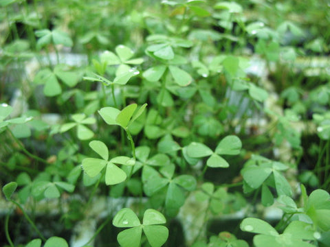 Marsilea quadrifolia -  Four Leaf Clover   - 5 rhizomes - Aquarium and Pond Plants