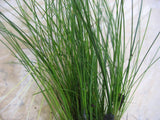 Eleocharis  parvula Dwarf Hairgrass potted live foreground  aquarium plant   1 pot - Aquarium and Pond Plants