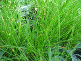 Eleocharis accicularis  Needle spikerush   potted live aquarium foreground  plant - Aquarium and Pond Plants