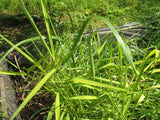 Phragmites australis Variegata   - 3 rhizomes - Aquarium and Pond Plants
