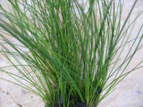 Eleocharis parvula - Dwarf spikerush   - 20 stems - Aquarium and Pond Plants