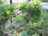 Larix Kaempferi   Japanese Larch -  10 seeds - Aquarium and Pond Plants