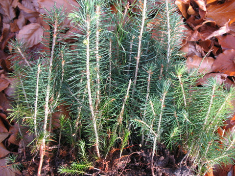 Picea abies - European Spruce - Kit  - 5 pre bonsai trees - Aquarium and Pond Plants