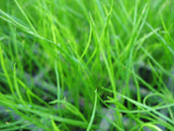 Carpet aquarium plants   - 35 stems - Aquarium and Pond Plants