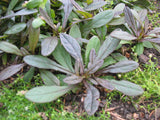 Ajuga reptans 'Evening Glow'  Purple Bugle  Stonecrop  3 plants - Aquarium and Pond Plants