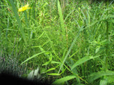 Ranunculus lingua  Buttercup  - 3 rhizomes - Aquarium and Pond Plants - 3