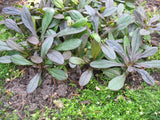 Ajuga reptans 'Evening Glow'  Purple Bugle  Stonecrop  3 clumps - Aquarium and Pond Plants