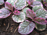 Ajuga reptans 'Burgundy Glow'   3 clumps - Aquarium and Pond Plants - 7