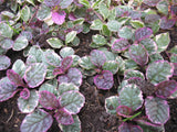 Ajuga reptans 'Burgundy Glow'   3 plants - Aquarium and Pond Plants