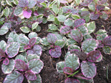 Ajuga reptans 'Burgundy Glow'   3 clumps - Aquarium and Pond Plants