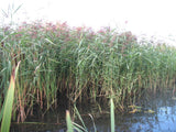 Phragmites australis Common reed   - 3 rhizomes - Aquarium and Pond Plants