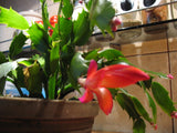 Schlumbergera Gaertneri   Easter Cactus, Whitsun Cactus  2 stems - Aquarium and Pond Plants