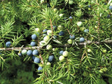 Juniperus Chinensis   Chinese Juniper   10 seeds - Aquarium and Pond Plants