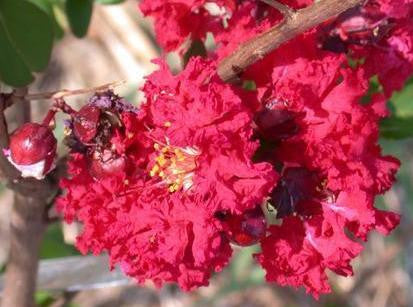 Lagerstroemia Indica   Crape Myrtle   10 seeds - Aquarium and Pond Plants - 1