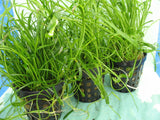 Lilaeopsis brasiliensis potted live aquarium foreground  plant   1 pot - Aquarium and Pond Plants