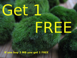 Marimo ball ( Moss ball )   2-3 cm   - 5 balls   - get 1 free - Aquarium and Pond Plants